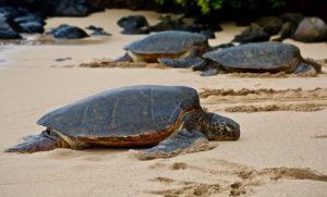 Sea Turtles Near Honolulu Airport